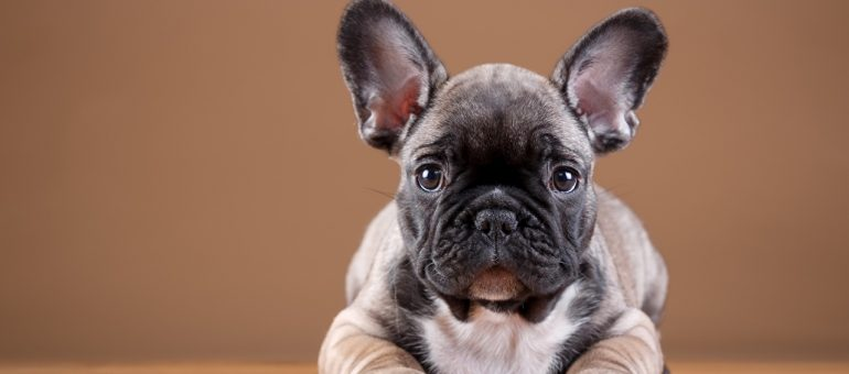 Dogs_French_Bulldog_Puppy_Paws_529473_1280x803